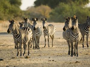 Crawshays Zebra, Small Group in Bush, Tanzania by Mike Powles