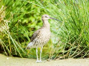 Curlew, Adult, UK by Mike Powles
