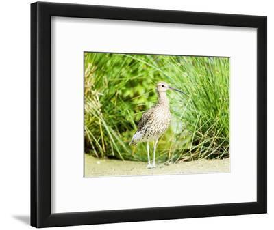 Curlew, Adult, UK
