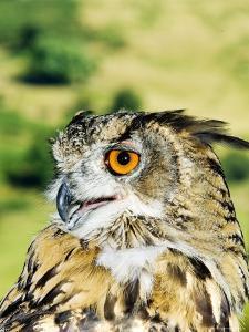 Eagle Owl, Portrait of Captive Adult, UK by Mike Powles
