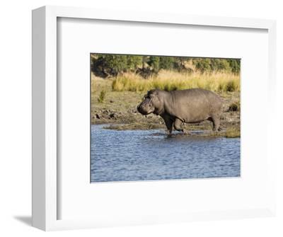 Hippopotamus, Adult Entering Water, Botswana