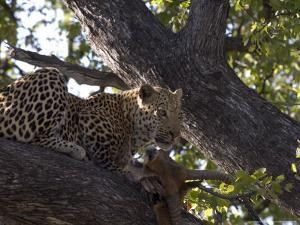 Leopard, Male with Kill in Tree, Botswana by Mike Powles