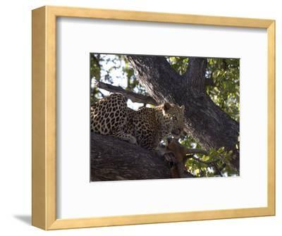Leopard, Male with Kill in Tree, Botswana