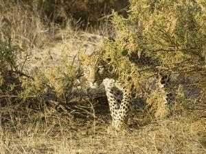 Leopard, Young Female Stalking, Kenya by Mike Powles