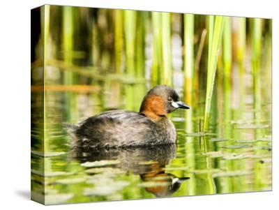 Little Grebe, Adult on Water, UK