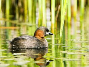 Little Grebe, Adult on Water, UK by Mike Powles