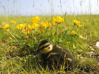 Mallard, Duckling in Wildflower Meadow, UK