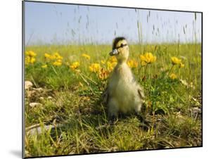 Mallard, Duckling in Wildflower Meadow, UK by Mike Powles