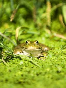 Marsh Frog, Adult, UK by Mike Powles