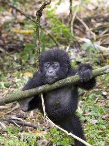 Mountain Gorilla, Youngster at Play, Rwanda by Mike Powles