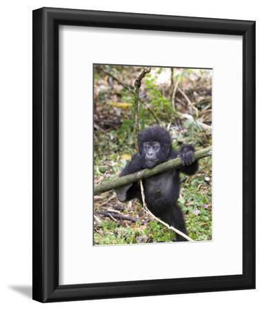 Mountain Gorilla, Youngster at Play, Rwanda