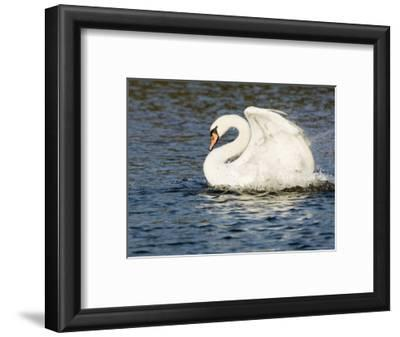 Mute Swan, Splashing During Bathing, UK