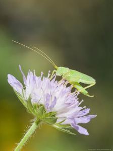 Oak Bush Cricket, Adult on Cornflower Head, UK by Mike Powles