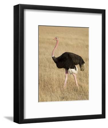 Ostrich, Male in Breeding Plumage, Kenya