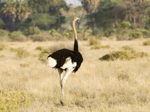 Ostrich, Male, Kenya by Mike Powles
