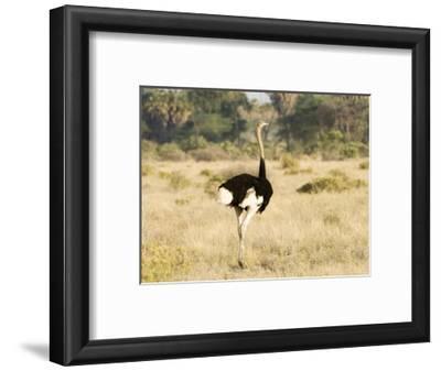 Ostrich, Male, Kenya