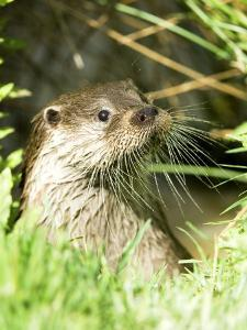 Otter Adult Emerging from Water, UK by Mike Powles