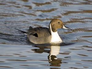 Pintail, Male in Breeding Plumage, UK by Mike Powles
