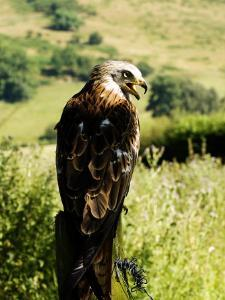 Red Kite, Adult Overlooking Countryside, UK by Mike Powles