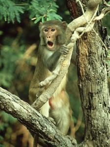 Rhesus Macaque, Aggression, India by Mike Powles