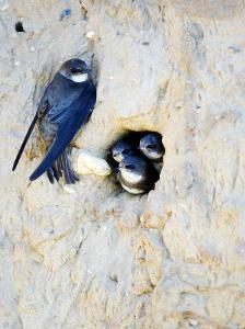 Sand Martin, Adult at Nest Site with Juveniles at Entrance Hole, Norfolk, UK by Mike Powles