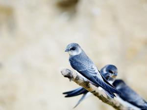 Sand Martin, Fledged Juvenile, UK by Mike Powles