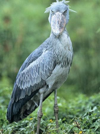Shoebill in Habitat, Uganda