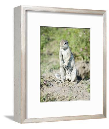 South African Ground Squirrel, Male in Breeding Condition, Central Kalahari Game Reserve, Botswana