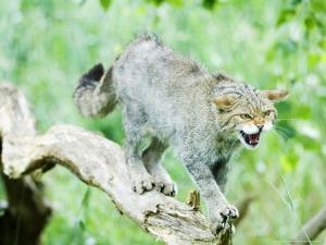 Wild Cat Adult in Aggressive Pose, UK by Mike Powles