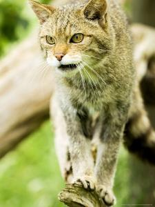 Wild Cat Adult, UK by Mike Powles