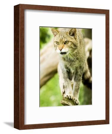 Wild Cat Adult, UK