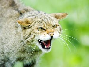 Wild Cat, Portrait of Captive Adult in Aggressive Pose, UK by Mike Powles