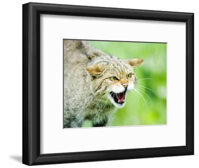 Wild Cat, Portrait of Captive Adult in Aggressive Pose, UK