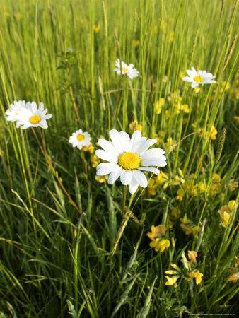 Wildflower Meadow, UK