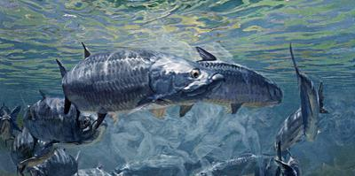 Giant Tarpon in the Midst of their Mating Ritual by Mike Rivken