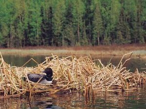 Loon on Nest in Water by Mike Robinson