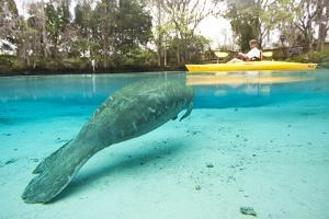 A Florida Manatee Surfacing for Air Near a Man in a Kayak by Mike Theiss