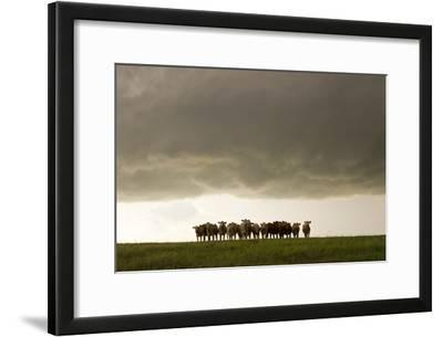 A Herd of Cattle Standing Side-By-Side, in a Perfect Row, in a Field under a Thunderstorm