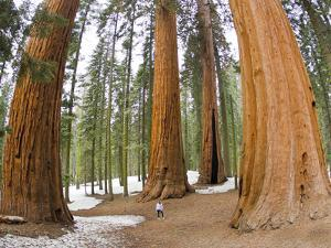 A Woman in Between Giant Sequoia Trees Gives Scale to their Size by Mike Theiss