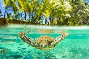 Swimming with a Green Sea Turtle and Tropical Fish at the Le Meridien Resort by Mike Theiss