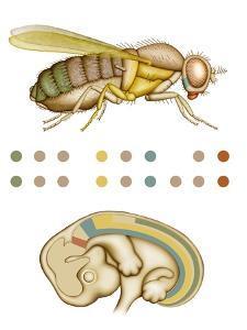 Fruit Fly And Fetus Genetic Similarities by Mikkel Juul