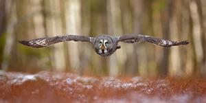 Great Grey Owl by Milan Zygmunt