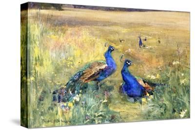Peacocks in a Field