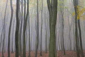 Forest in Fog, Near Frankfurt, Germany, Europe by Miles Ertman