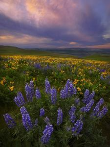 Colorful Sunrise over the Wildflowers of the Columbia River Gorge in Washington by Miles Morgan