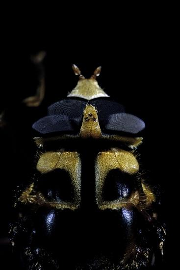 Milesia Crabroniformis (Hoverfly) - Portrait-Paul Starosta-Photographic Print