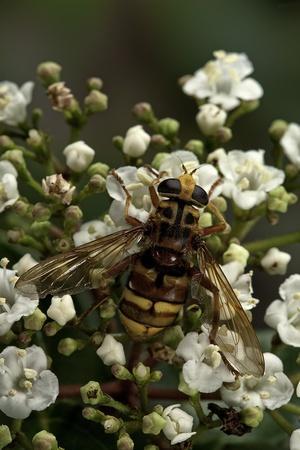 Milesia Crabroniformis (Hoverfly)-Paul Starosta-Framed Photographic Print