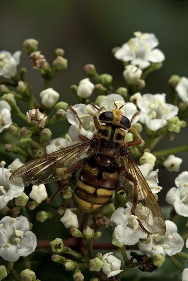 Milesia Crabroniformis (Hoverfly)-Paul Starosta-Photographic Print