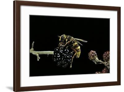 Milesia Crabroniformis (Hoverfly)-Paul Starosta-Framed Photographic Print