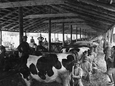 Military Cheese Factory, the Milking--Photographic Print